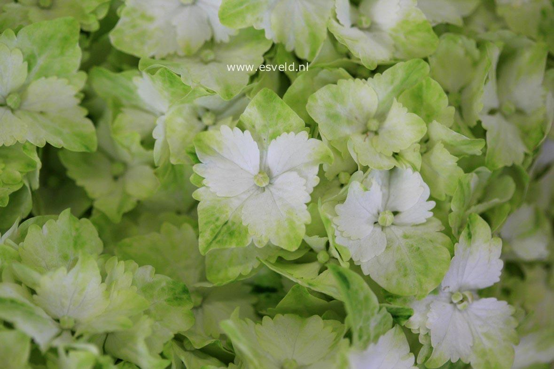 Hydrangea macrophylla 'Hortmaja' (MAGICAL JADE)