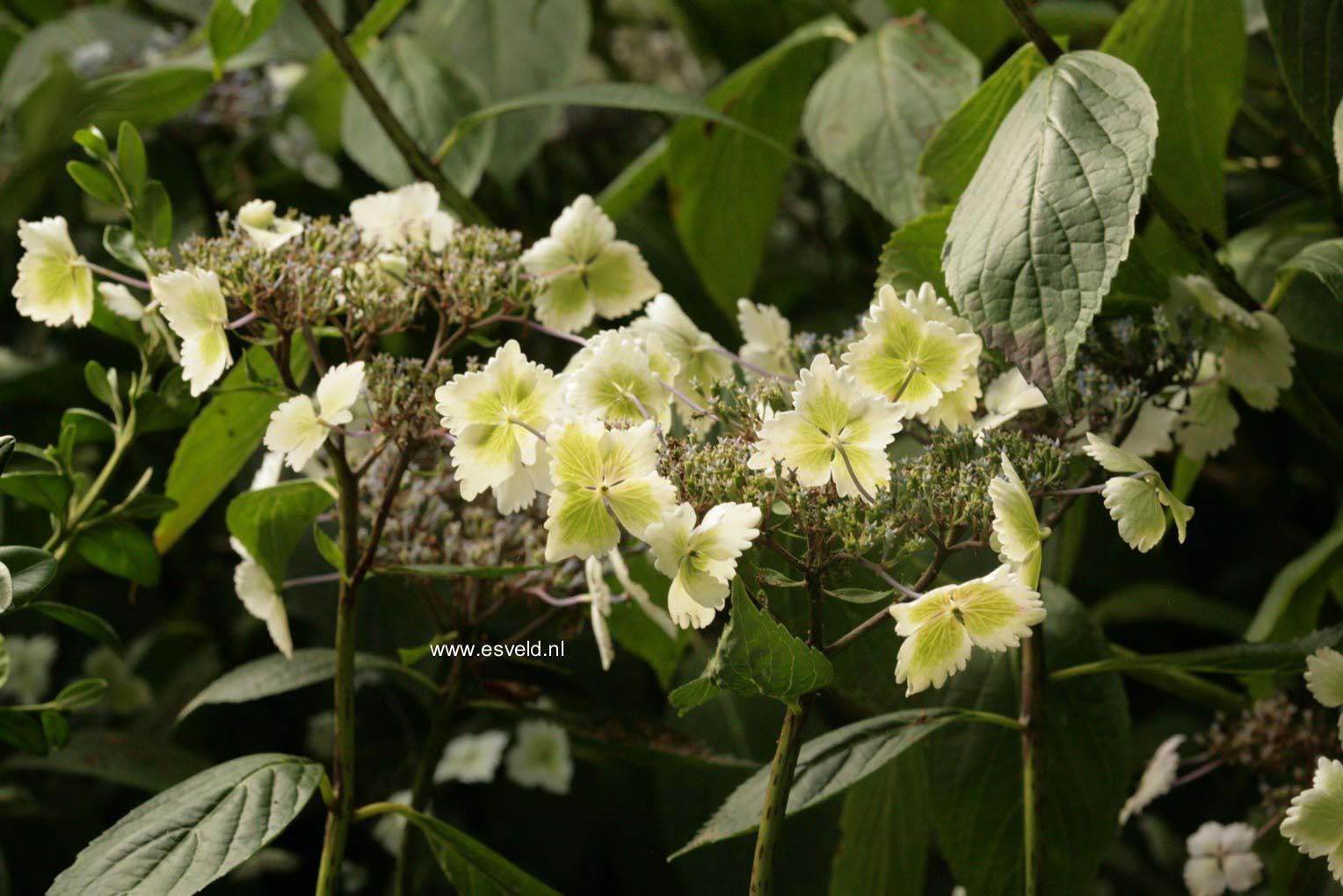 Hydrangea macrophylla 'Nadeshiko'