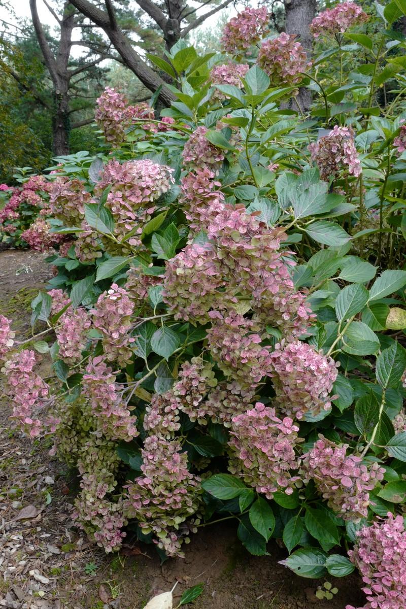 Hydrangea macrophylla 'Thelenn'