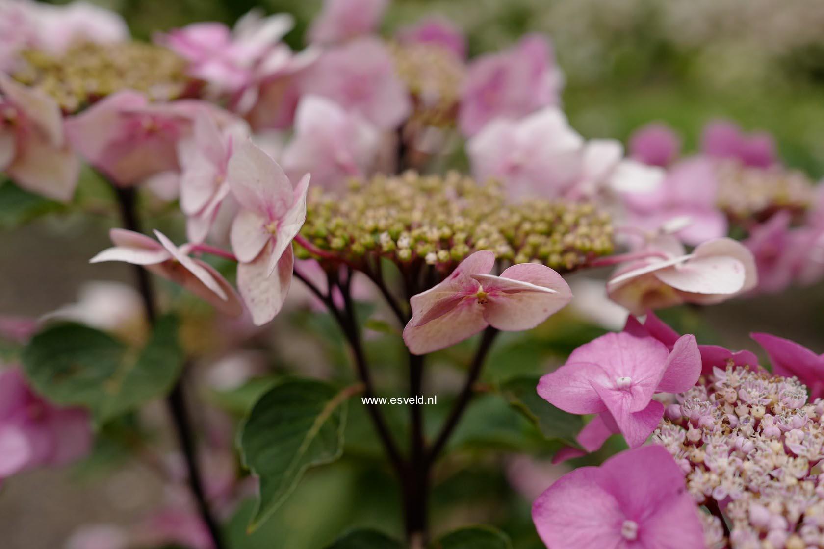 Hydrangea macrophylla 'Zorro'