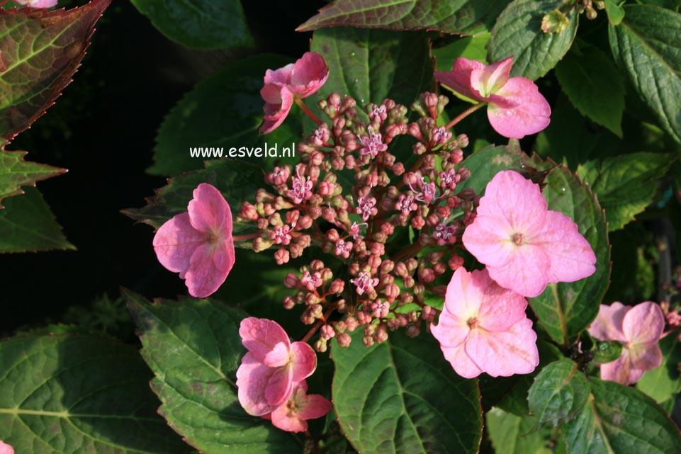 Hydrangea serrata 'Spreading Beauty'