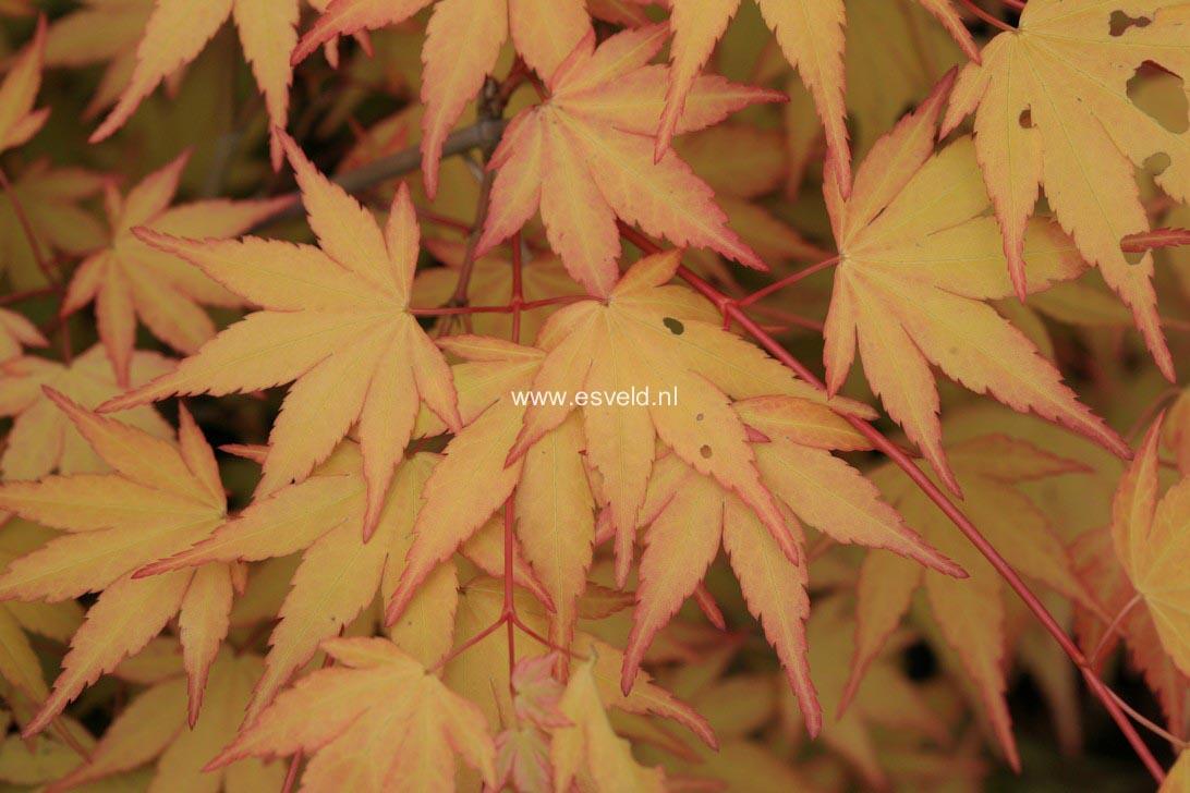 Acer palmatum 'Akane'