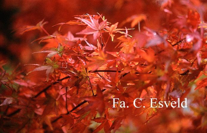 Acer palmatum 'Katsura'