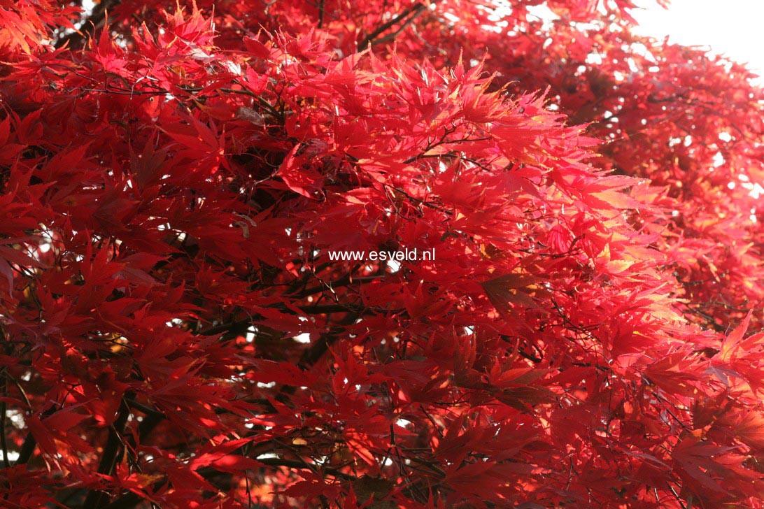 Acer palmatum 'Nicholsonii'