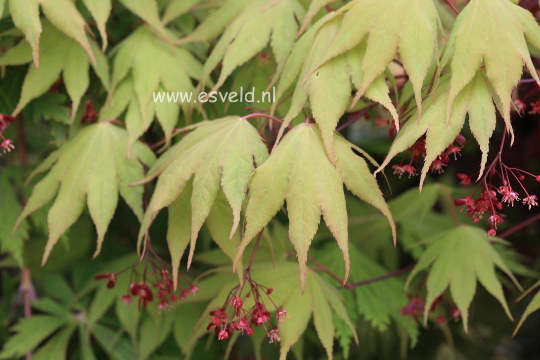 Acer palmatum 'Tsukubane'