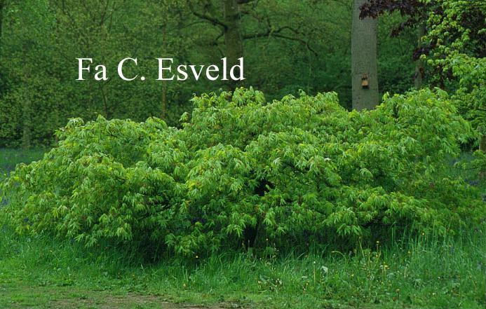 Acer palmatum 'Westonbirt Spreading Star'