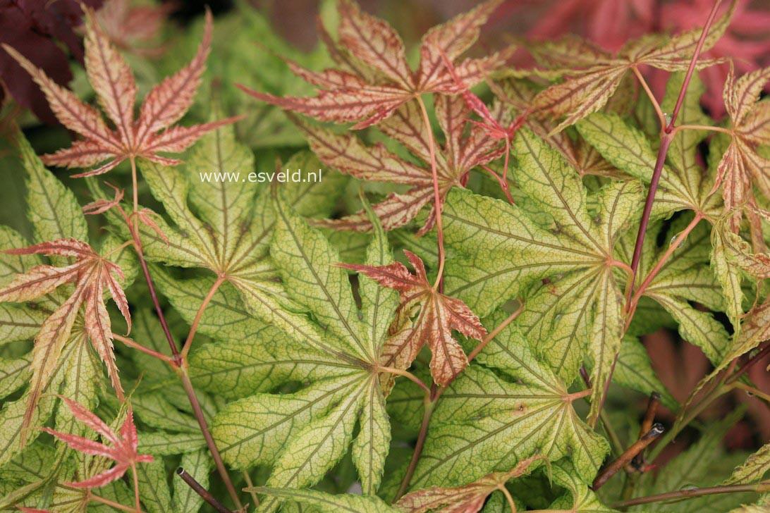 Acer palmatum 'Will's Devine'