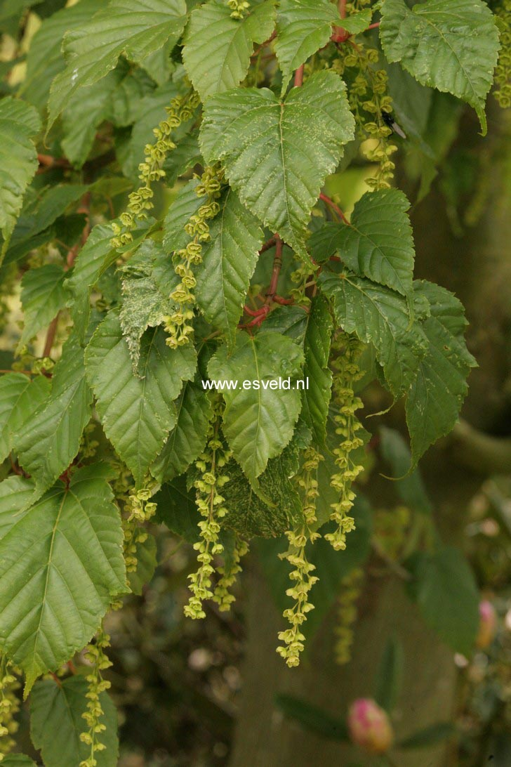 Acer rubescens