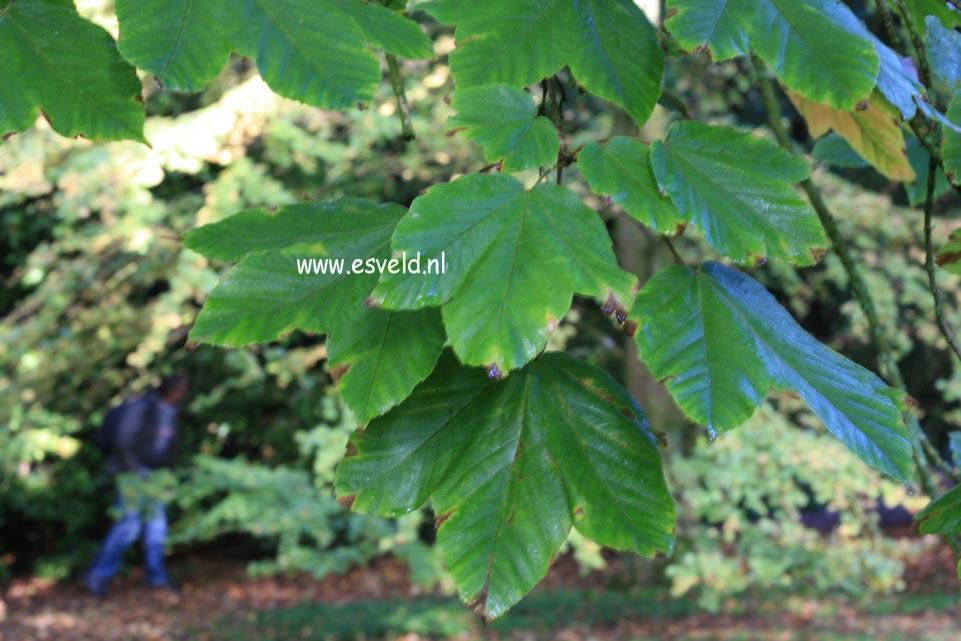 Acer sterculiaceum