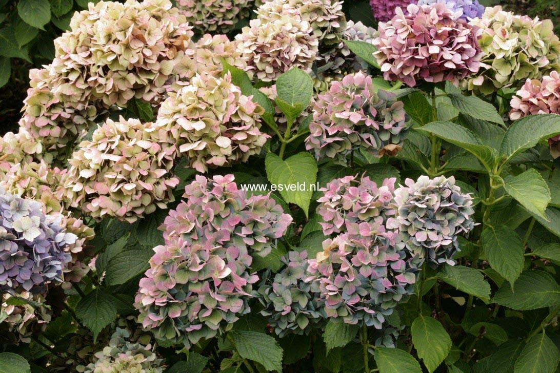 Hydrangea macrophylla 'Bouquet Rose'
