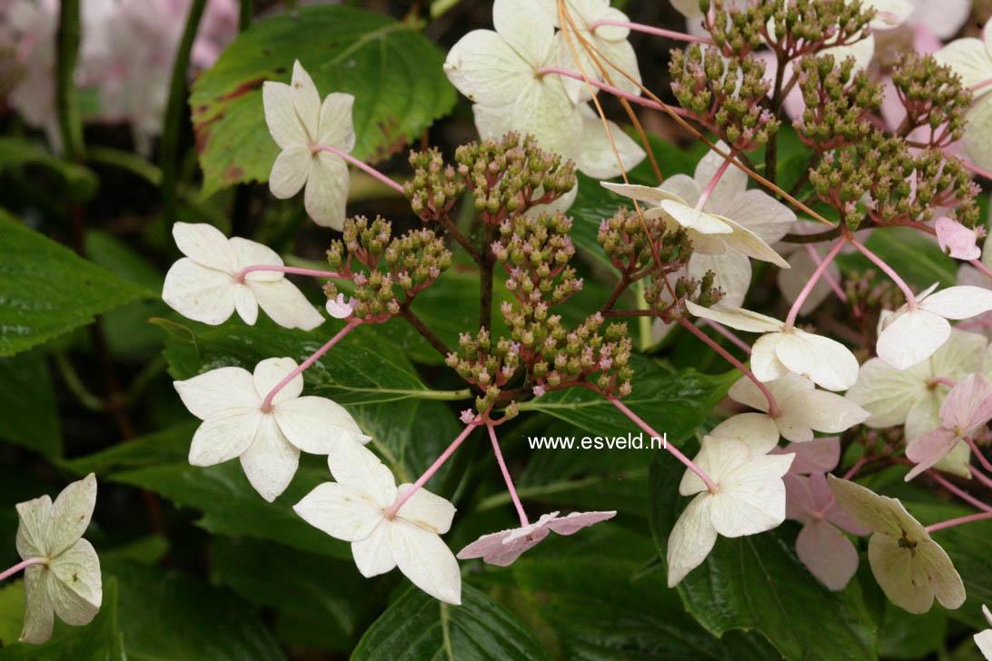 Hydrangea macrophylla 'Dr. Jean Varnier'