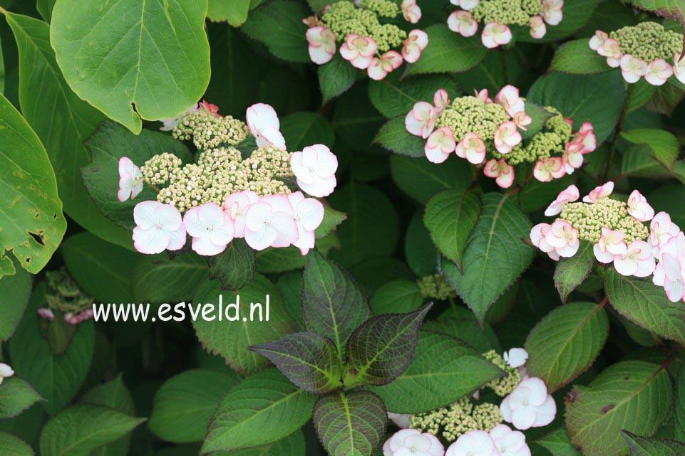 Hydrangea macrophylla 'Sandra'
