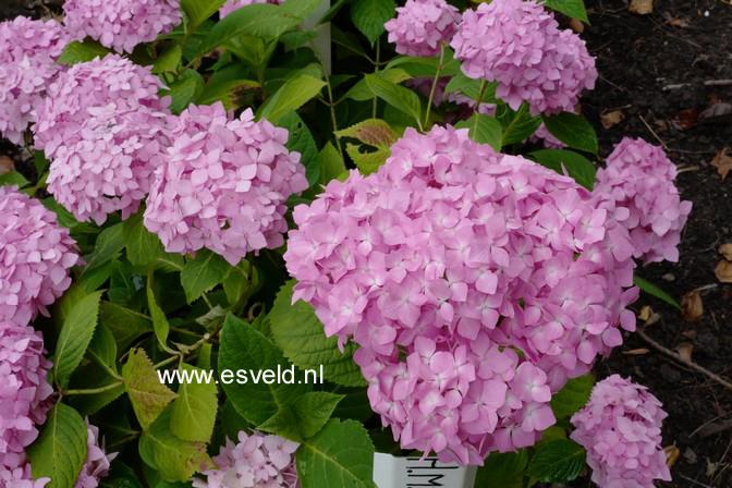 Hydrangea macrophylla 'Shin-ozaki'