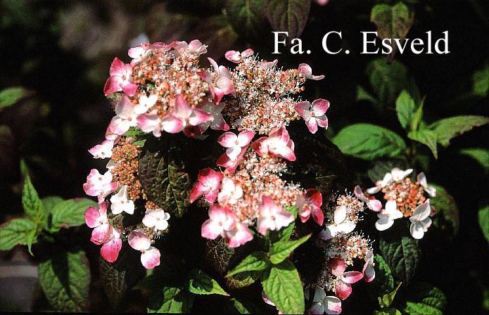 Hydrangea serrata 'Kurenai'