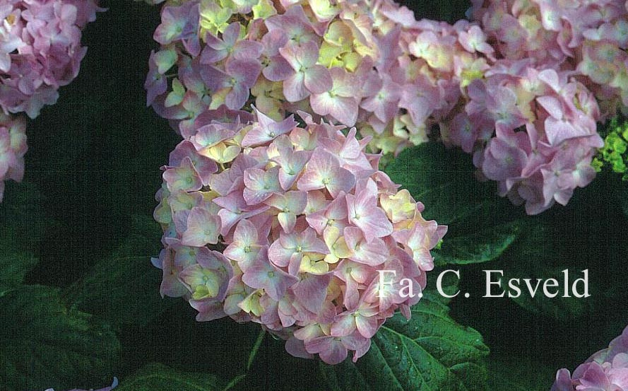 Hydrangea macrophylla 'La France'