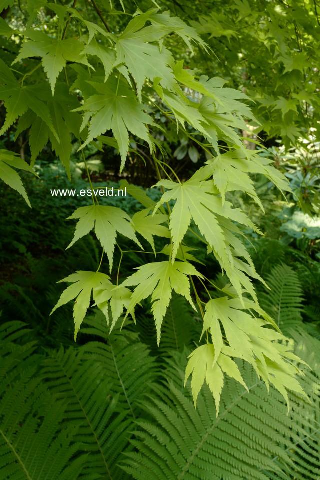 Acer palmatum 'Aureum'