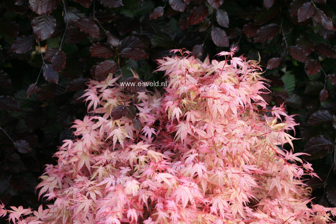 Acer palmatum 'Beni-tsukasa'