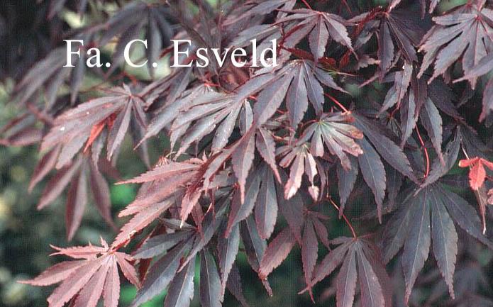 Acer palmatum 'Chitose-yama'