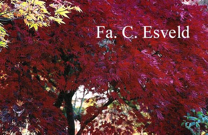 Acer palmatum 'Matsu-Kaze'