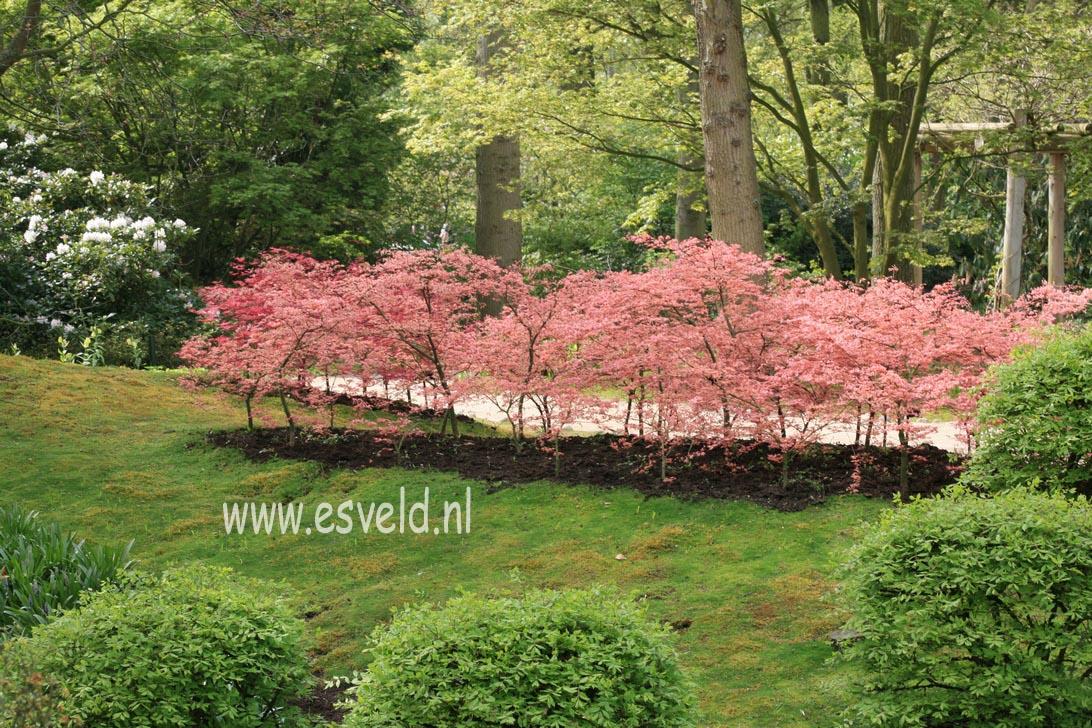 Acer palmatum 'Ruben'