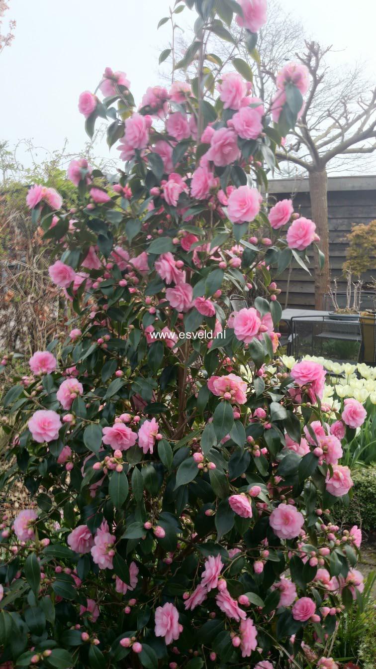 Camellia japonica 'Spring Festival'