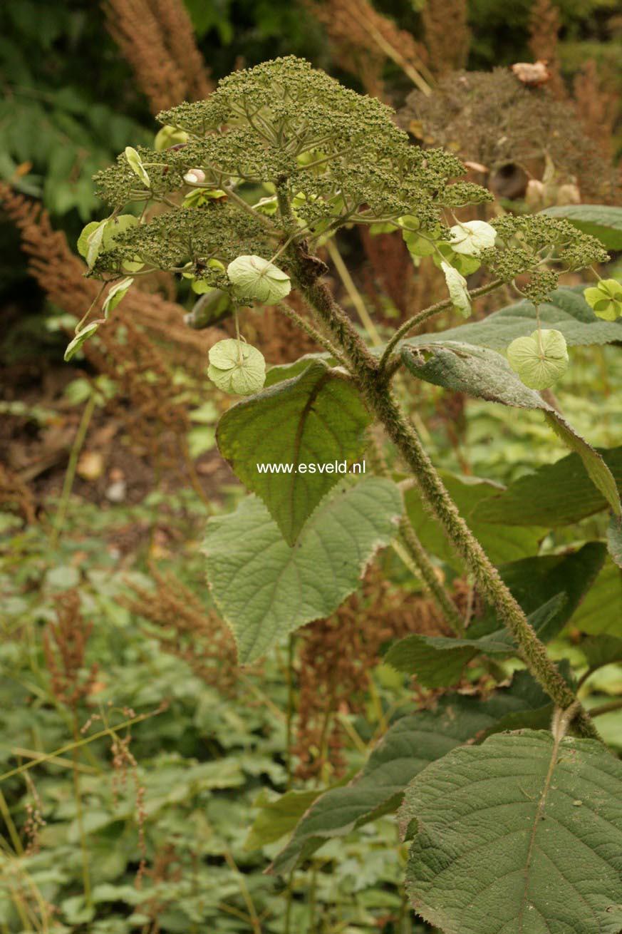 Hydrangea aspera robusta