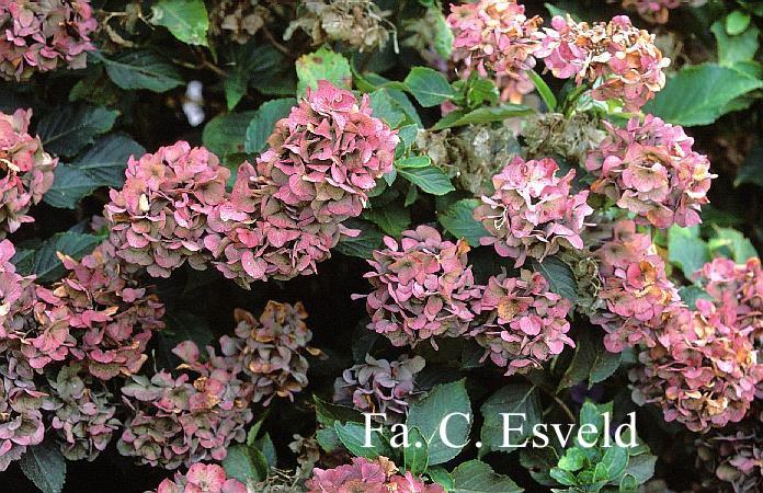 Hydrangea macrophylla 'Marie Claire'