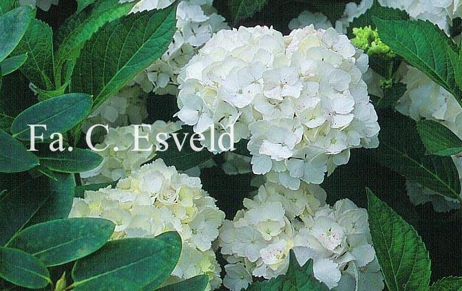 Hydrangea macrophylla 'Mme. E. Mouillere'