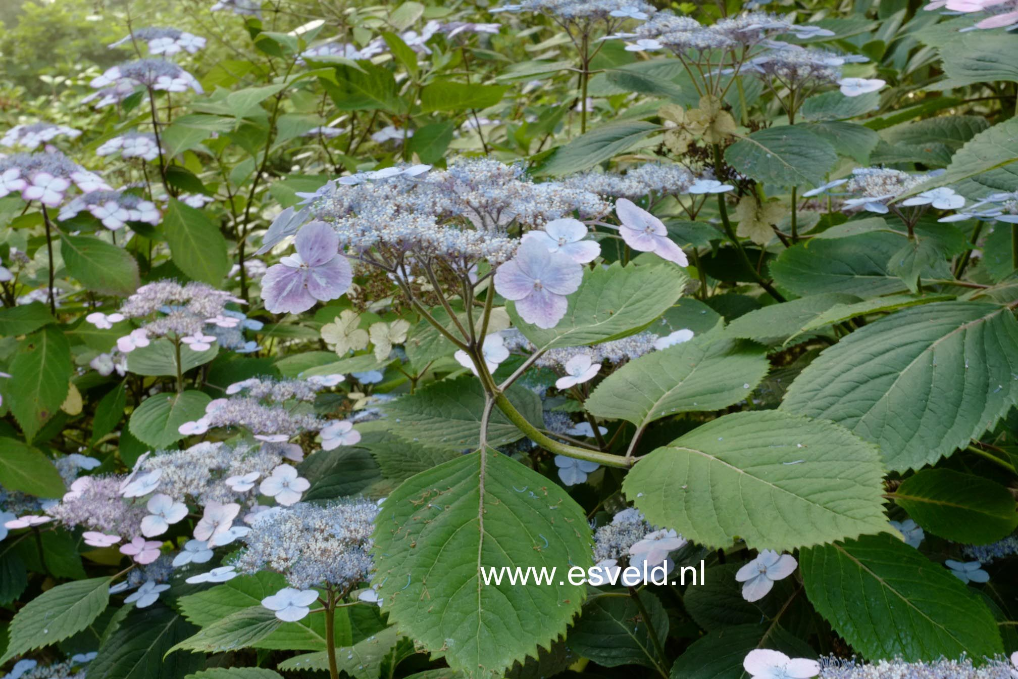 Hydrangea serrata 'Veerle'