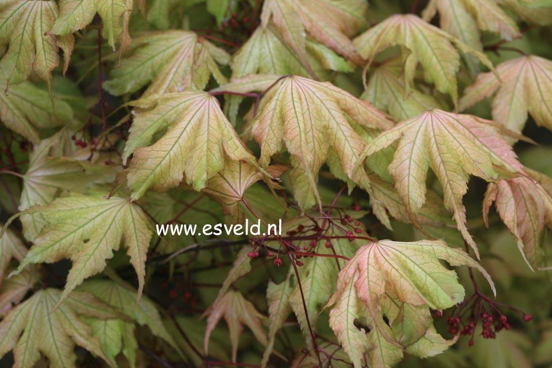 Acer palmatum 'Beni-shigatatsu-sawa'
