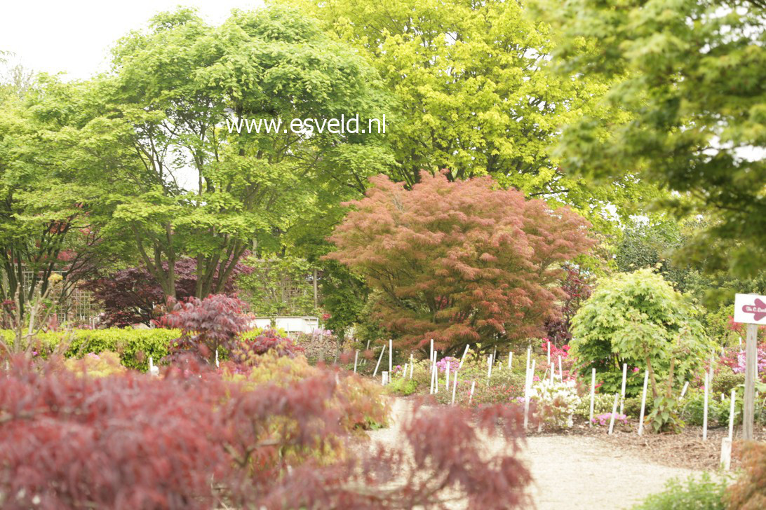 Acer palmatum 'Villa Taranto'