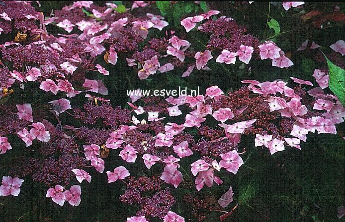 Hydrangea macrophylla 'Juno' (syn. 'Hidcote Pink')