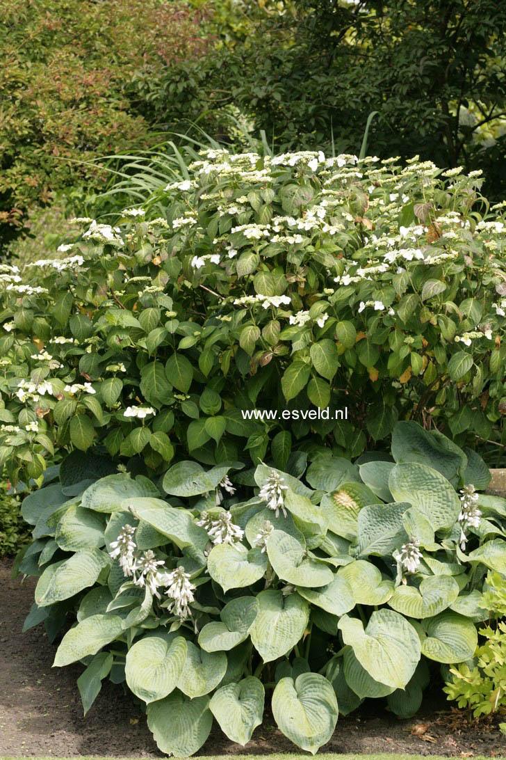 Hydrangea macrophylla 'Mariesii Grandiflora'