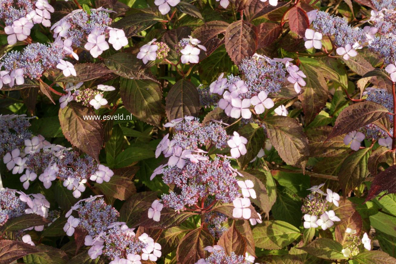 Hydrangea serrata 'Aka tsanayama'
