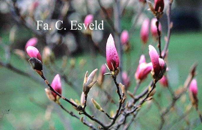 Magnolia 'Betty'
