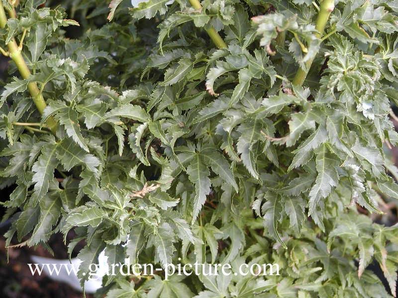 Acer palmatum 'Shishi-gashira'