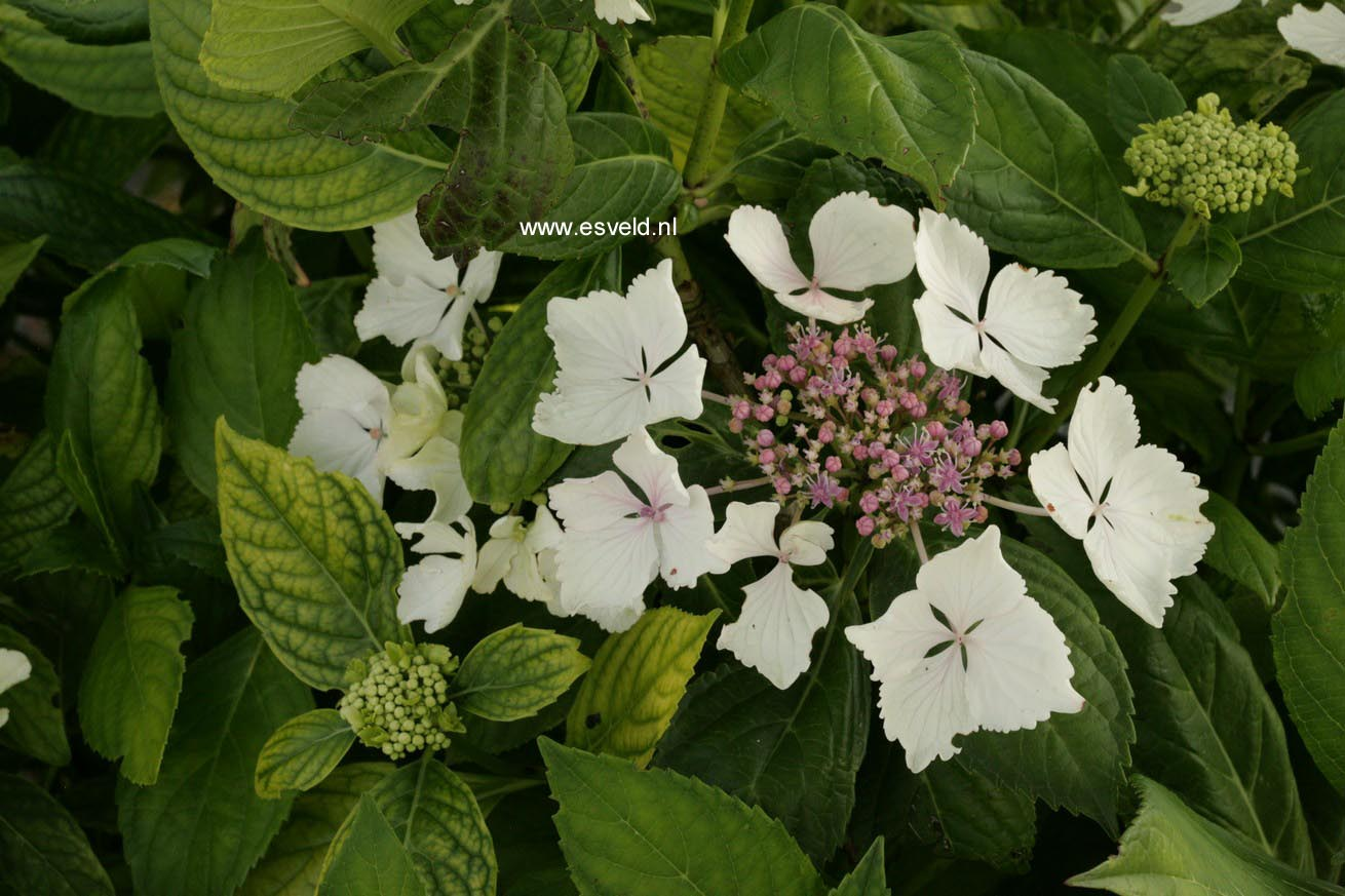 Hydrangea macrophylla 'Green Tonic'