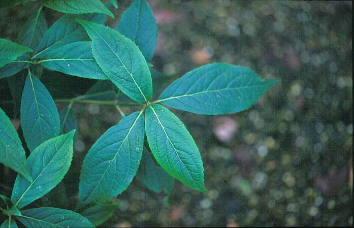 Hydrangea scandens macrosepala