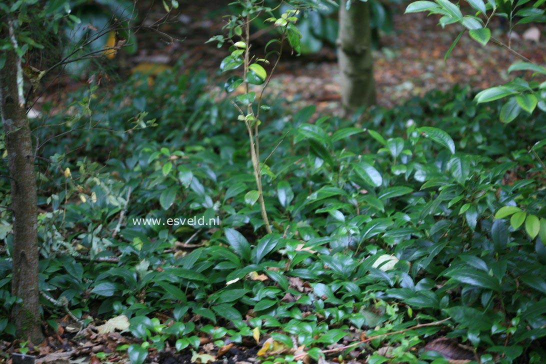 Hydrangea seemannii