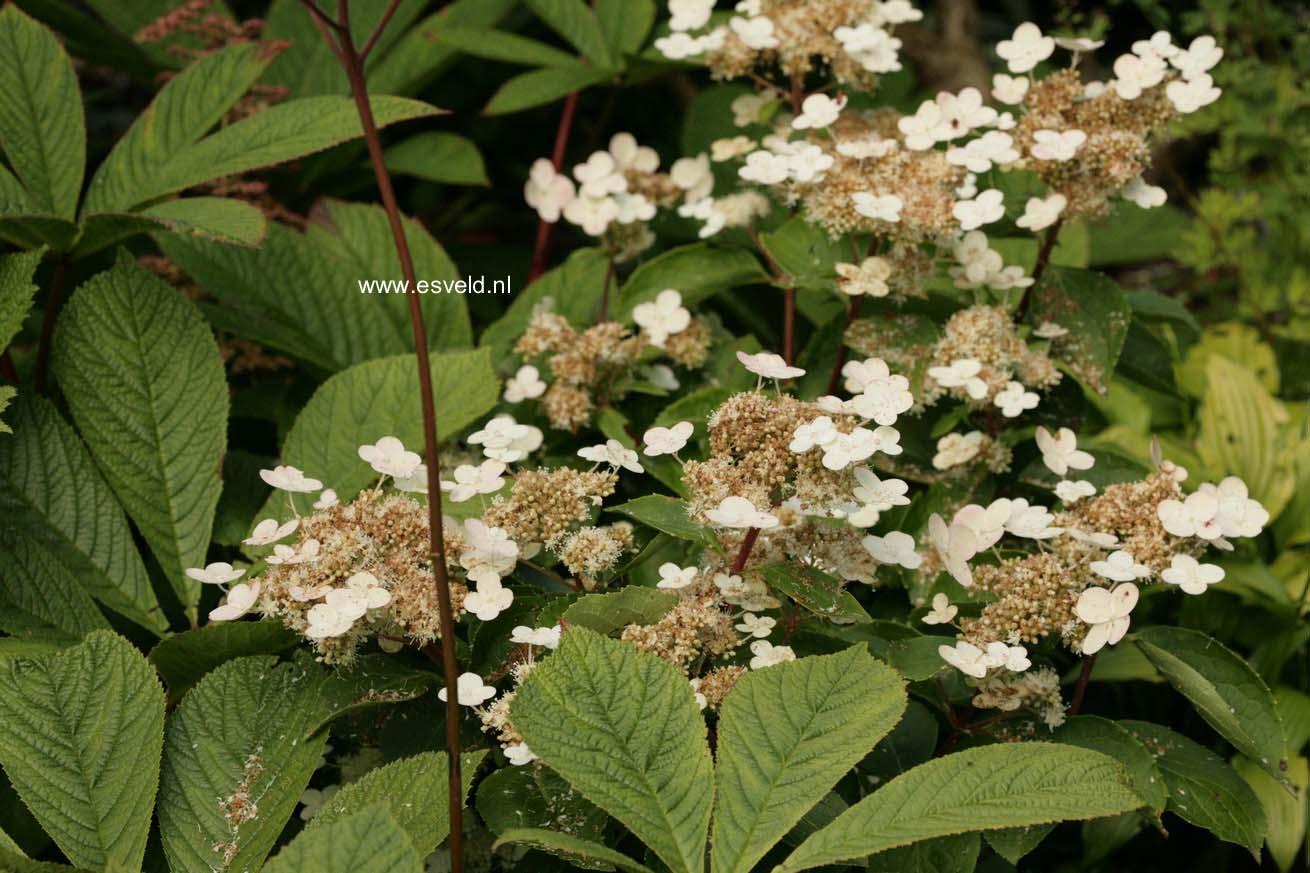 Hydrangea paniculata 'Dharuma'