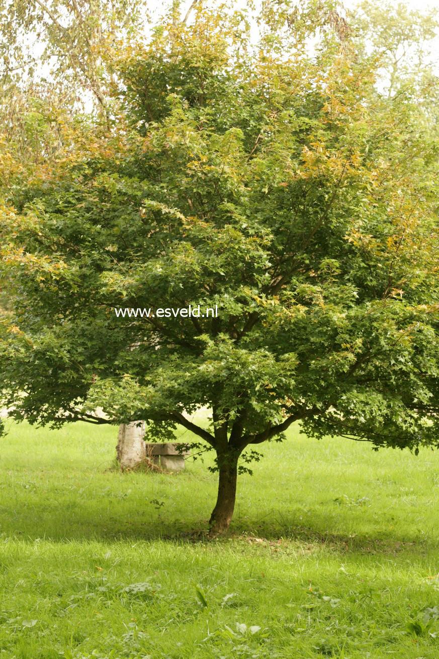 Acer truncatum