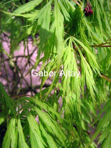 Acer palmatum 'Dissectum Paucum'