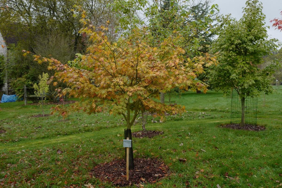 Acer palmatum 'Fior d'Arancio'