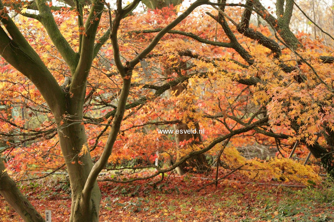 Acer palmatum 'Nishiki-gawa'