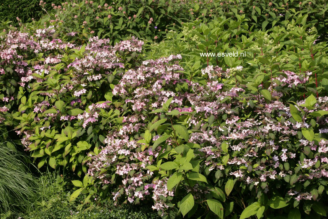 Hydrangea serrata 'Kuro-hime'