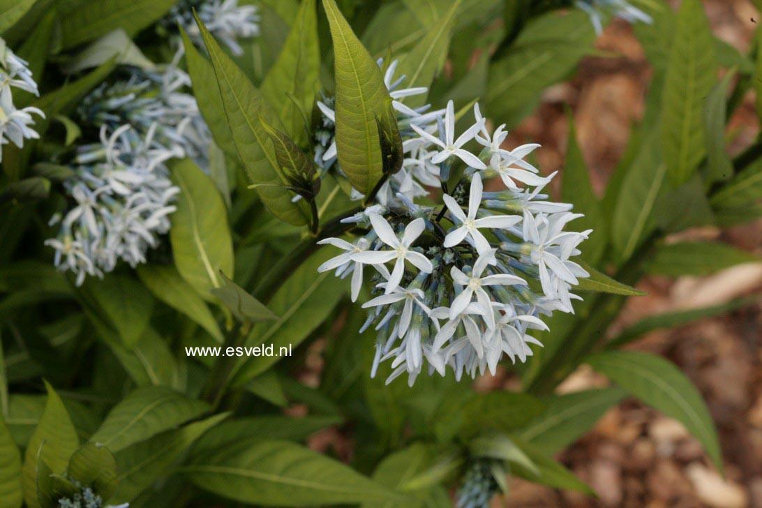 Amsonia illustris