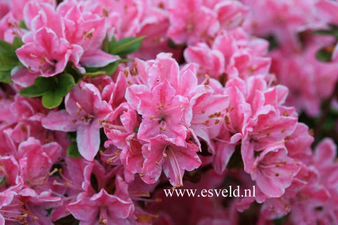 Rhododendron 'Kermesina Rose' (Azalea)