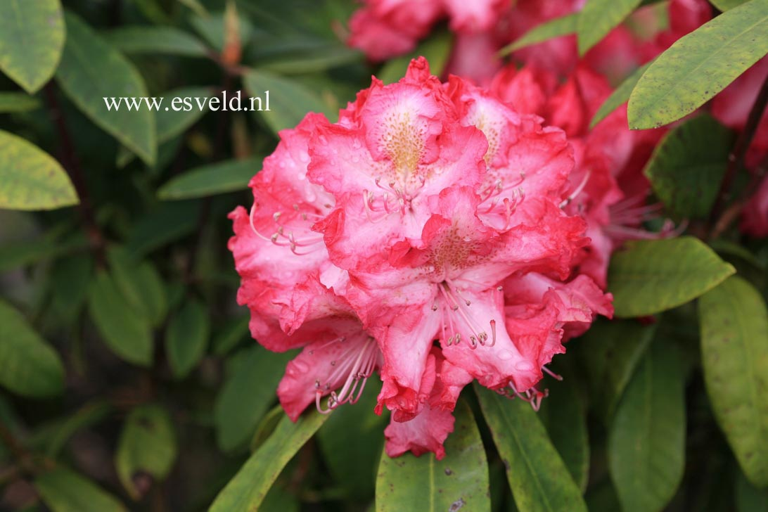 Rhododendron 'R.S. Holford'