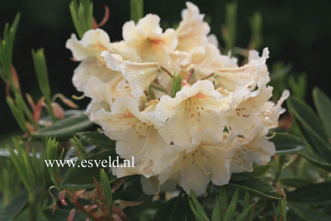 Rhododendron 'Marsala'