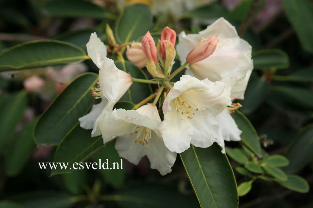 Rhododendron 'Juniglocke'